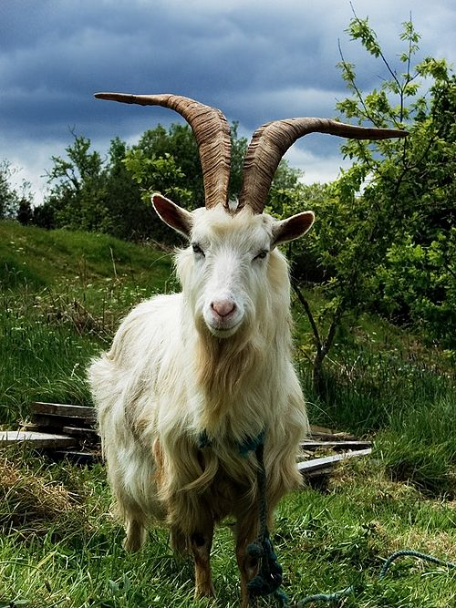 Irish Goat.jpg