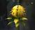 Yellow Chomp